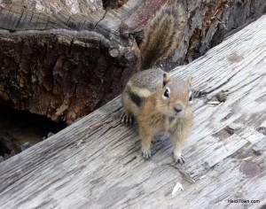 Wildlife in St. Elmo chipmunk 1