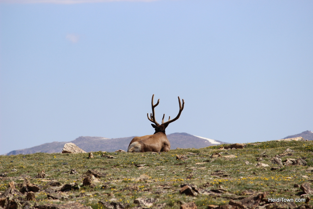 Big elk buck in Rocky Mountain National Park near Trail Ridge Road. HeidiTown.com