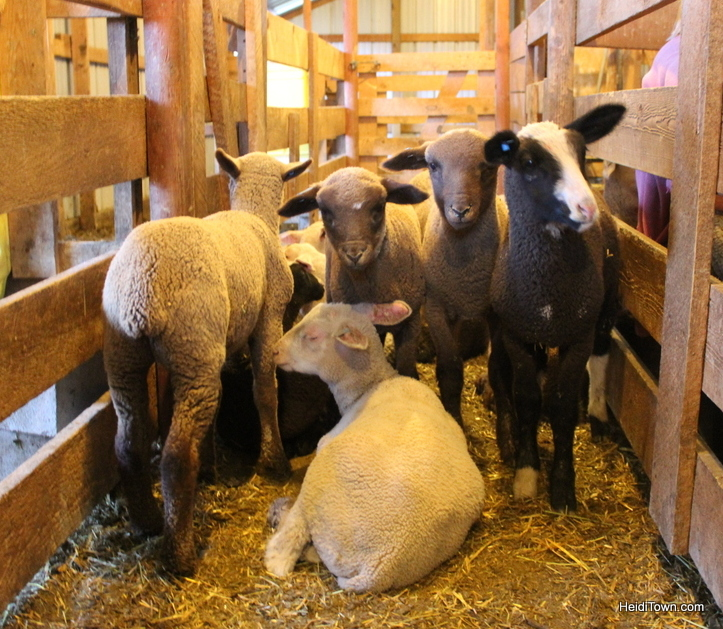 baby lambs at the living farm in Paonia Colorado. HeidiTown.com