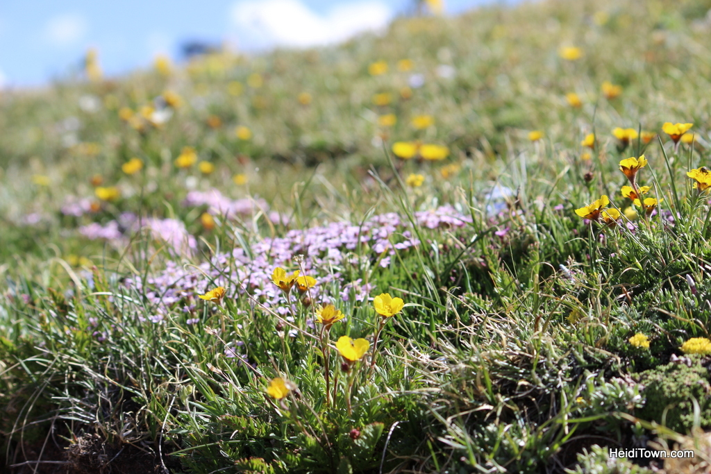 close up of wildflowers on trail ridge road, rocky mountain national park, colorado. HeidiTown.com