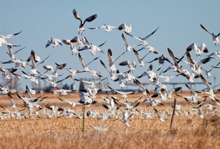 Snow-Geese-2 from the festival page