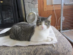 Coraline the cat, available at Second Chance Humane Society. HeidiTown.com