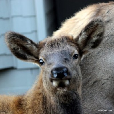 baby elk at The Rustic Acre in Estes Park, Colorado, for adult getaways too. HeidiTown.com