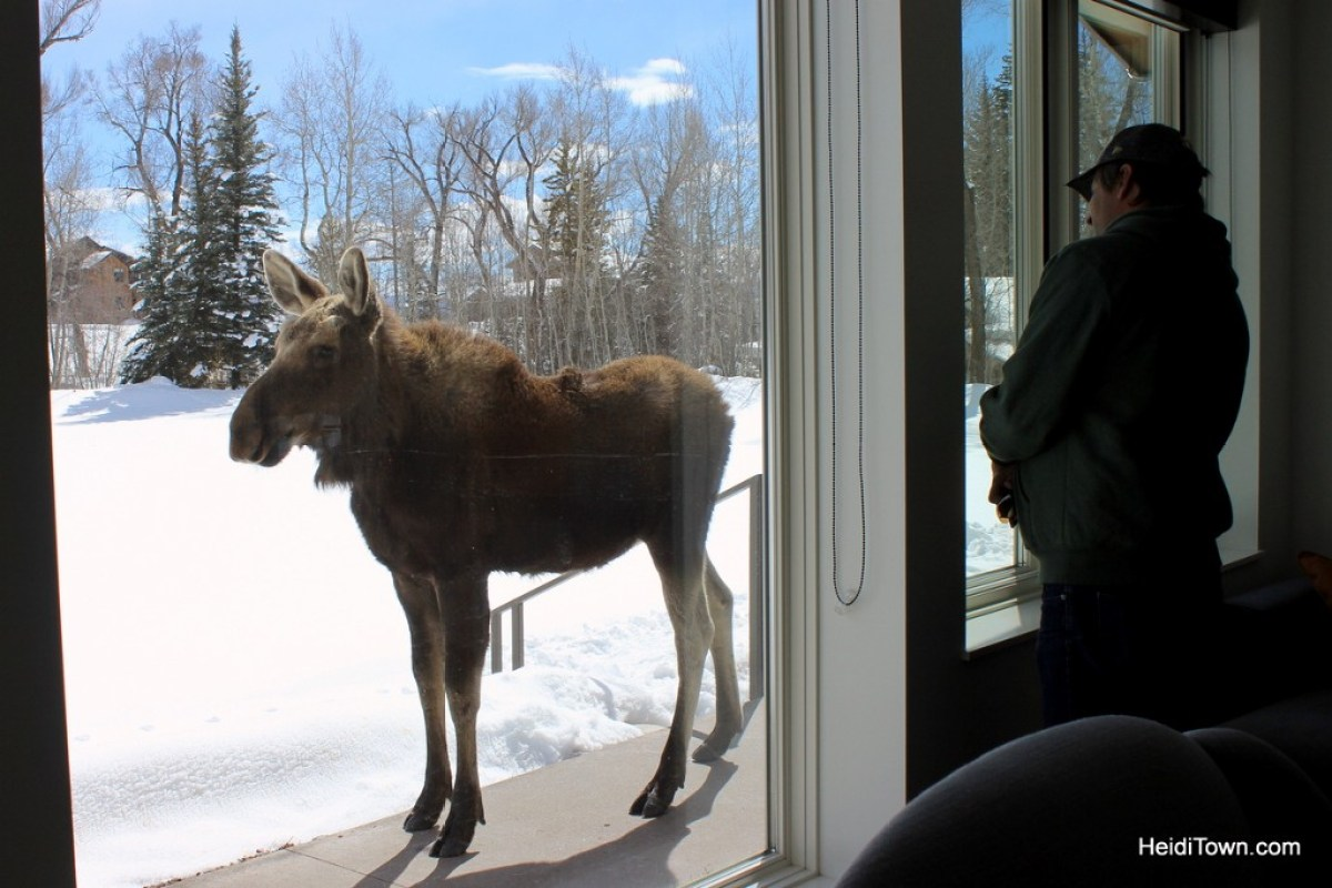 Enjoy Moose Neighbors with a Moving Mountains Vacation Home. Moose in Steamboat Springs. HeidiTown.com