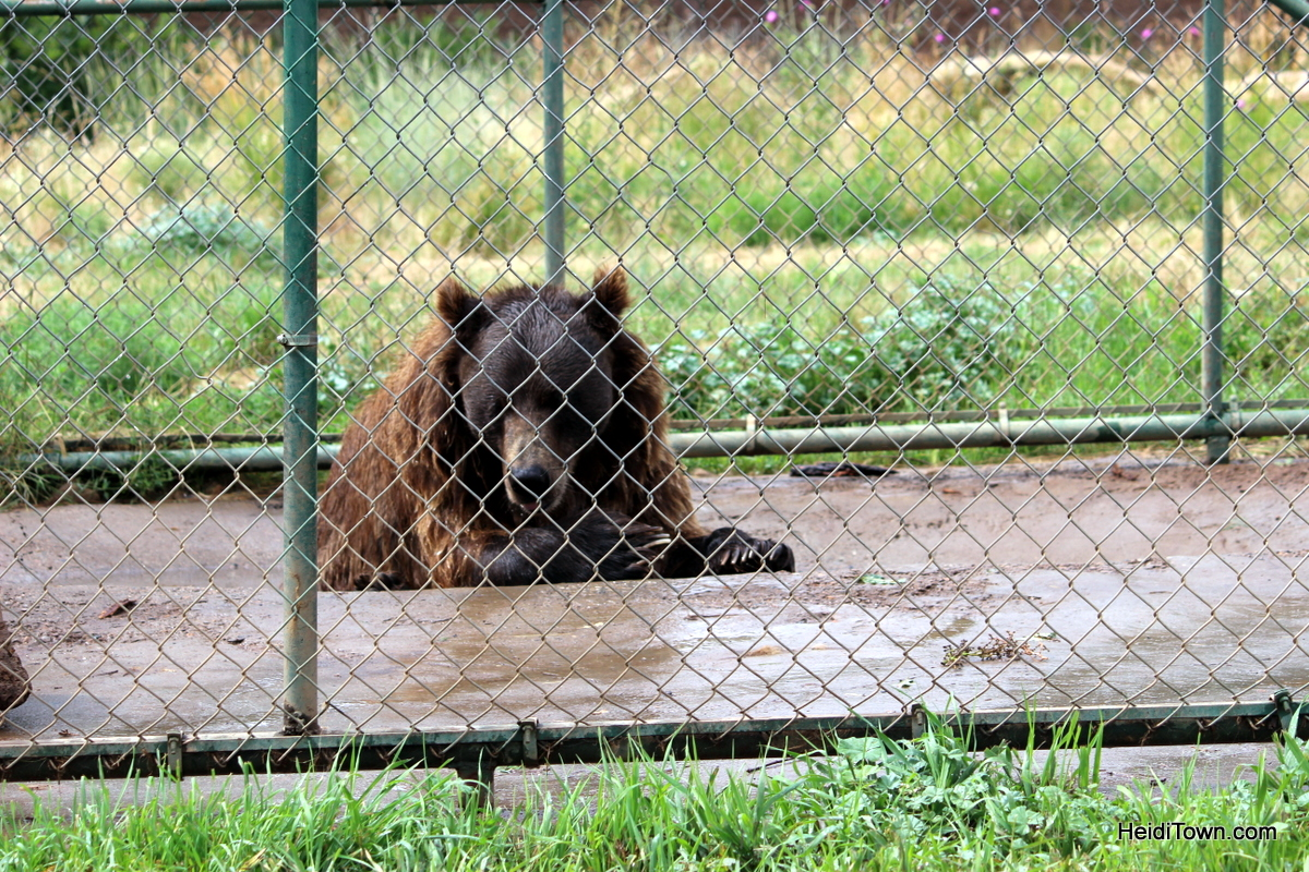 Five Things To Do In Pagosa Springs This Summer. meet princess the grizzly. HeidiTown.com