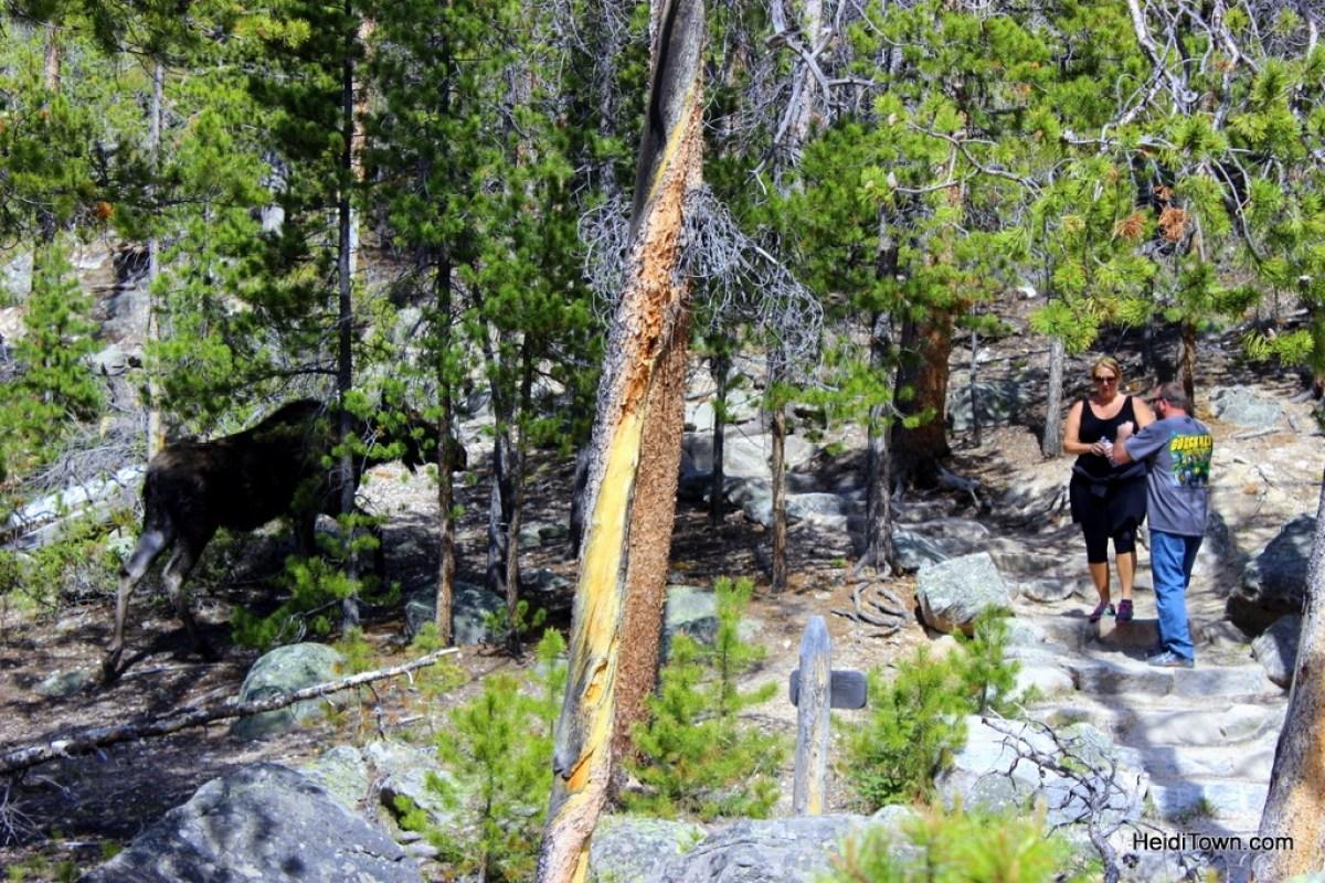 A moose story, Grand Lake, Colorado. HeidiTown (3)