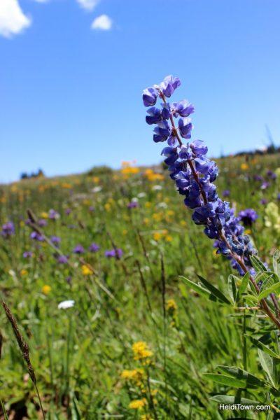 Wildflowers & wild chipmunks on Grand Mesa. HeidiTown.com (4)