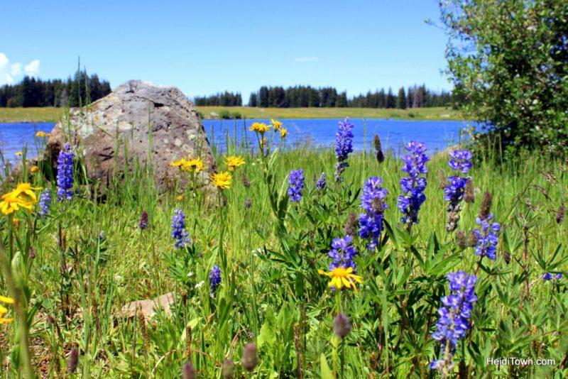 Wildflowers & wild chipmunks on Grand Mesa. HeidiTown.com (5)