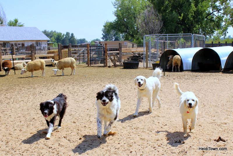 Guard dogs at SkyPilot Farm & Creamery. HeidiTown.com
