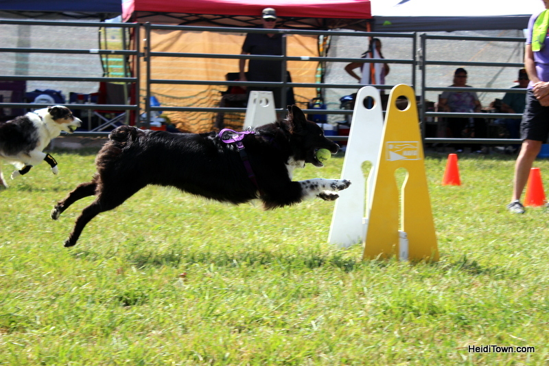Dogs, Sheep & Meat Pies at the Meeker Sheepdog Trials (5)