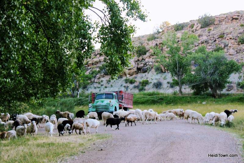 Canyon of the Ancients, sheep herd, HeidiTown.com (2)