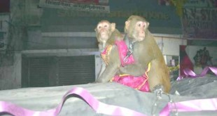 Monkeys wedding organised people attended ceremony bride dressed orange frock and groom wearing a yellow T-shirt 12