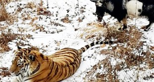 Siberian tiger made friendship with goat in Safari Park 8