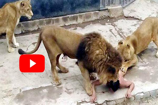 Cleaning cage lion attacked at zoo keeper and mauled to death