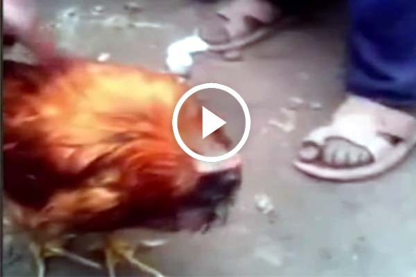 Watch video headless chicken walking around effortlessly.