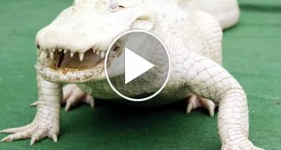 Piercing blue eyes pale skin rare white crocodile stands out like a sore thumb 6