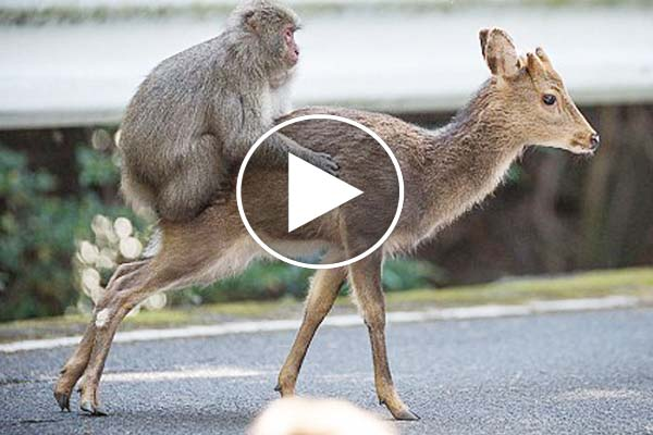 Strange behavior researchers captured video footage Monkey sex with female Sika deer.