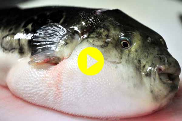 Chefs failed remove toxic elements mixed ethnic Hybrid puffer fish become headache for Japanese.