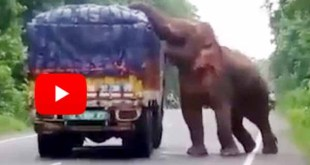 Hungry elephant stopped loaded truck and eat potatoes video goes viral on social media 1