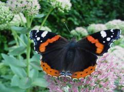 Atalanta vlinder 5-9-05