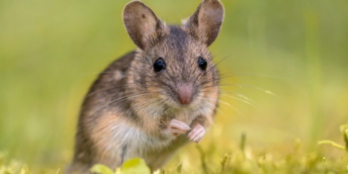 A field mouse sits in a meadow.