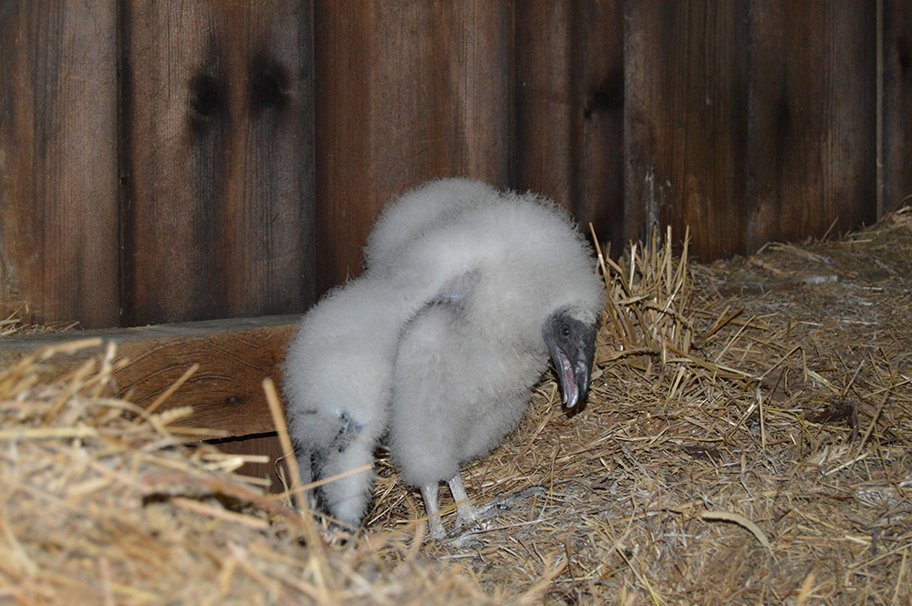 25-day-old turkey vulture chick