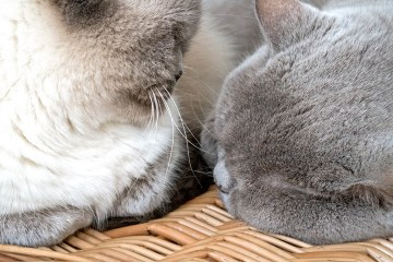 Best Friends British Shorthair cats Bluejohn MistyWordless Wednesday