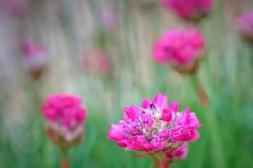 Sea Pinks in the Garden