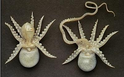 octopus.tiff