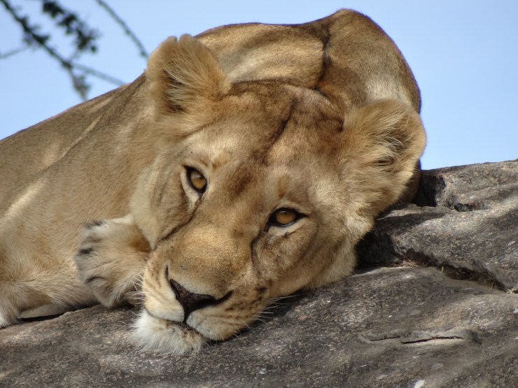 Lion in the Serengeti - The Best Desinations for an African Safari