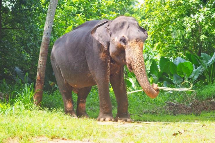 Chained Up Elephant, Sri Lanka
