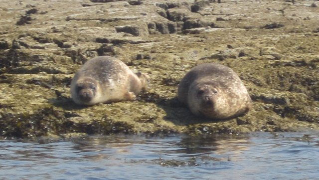 Common (or Harbour) SEals basking in sun