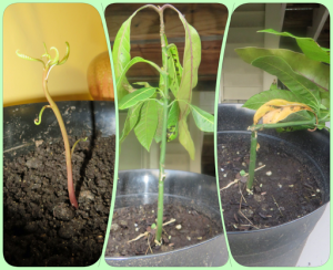Requiem for a Mango Seedling