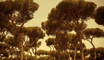 The manicured pine trees of the Villa Borghese.