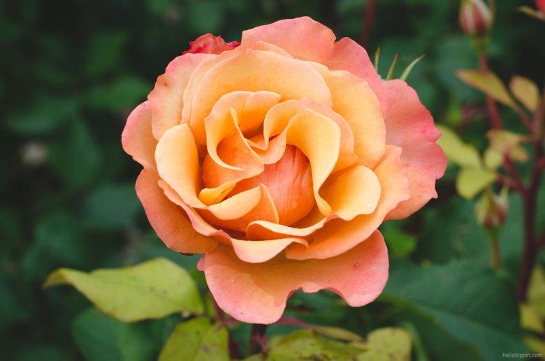 Roses in Bloom (Portland International Rose Test Garden)