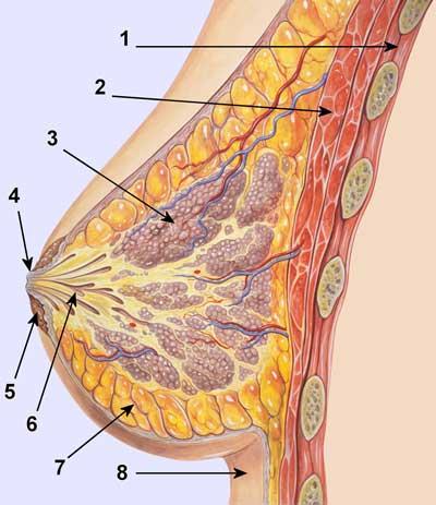https://i2.wp.com/www.hellenica.de/Med/Anatomia/TomiMastou.jpg