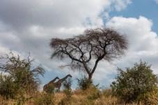 Giraffen im Tarangire National Park in Tansania