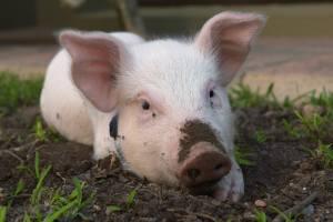 Terrorkeks oder einfach happy Pig?