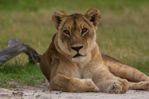 Lonely Lioness…