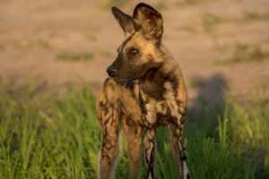 Wild Dogs zum Zweiten :-)