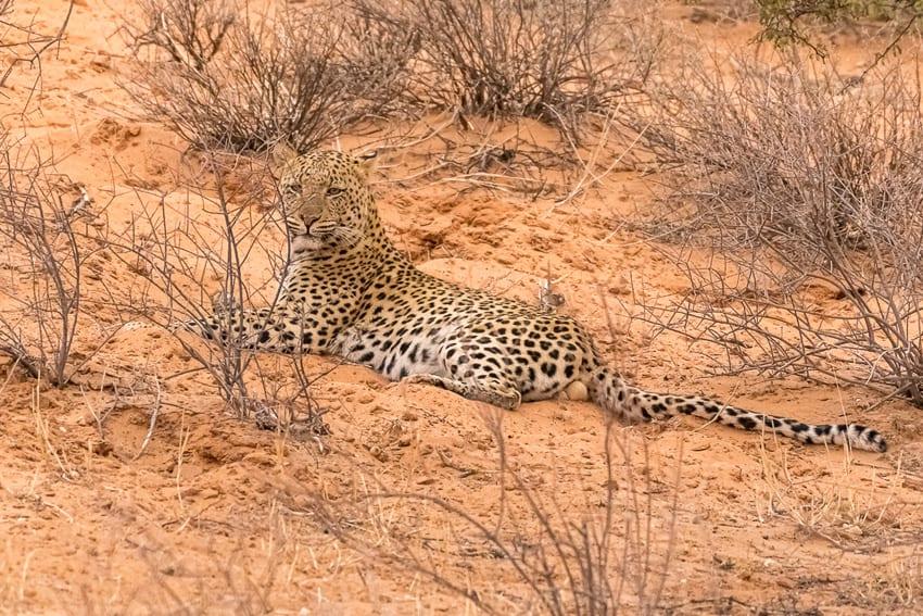 Erste kurze Leoparden-Sichtung
