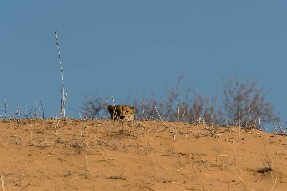 Kuckuck… eine weitere Geparden-Sichtung