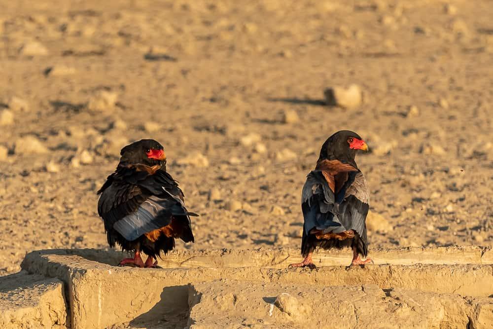 Bateleur-Paar im Kgalagadi