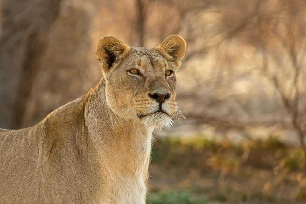 Wunderschöne Löwin