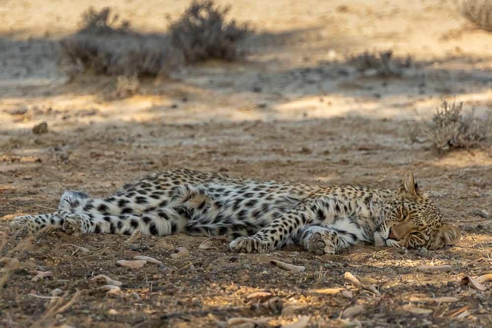Nonisa, die junge Leopardin