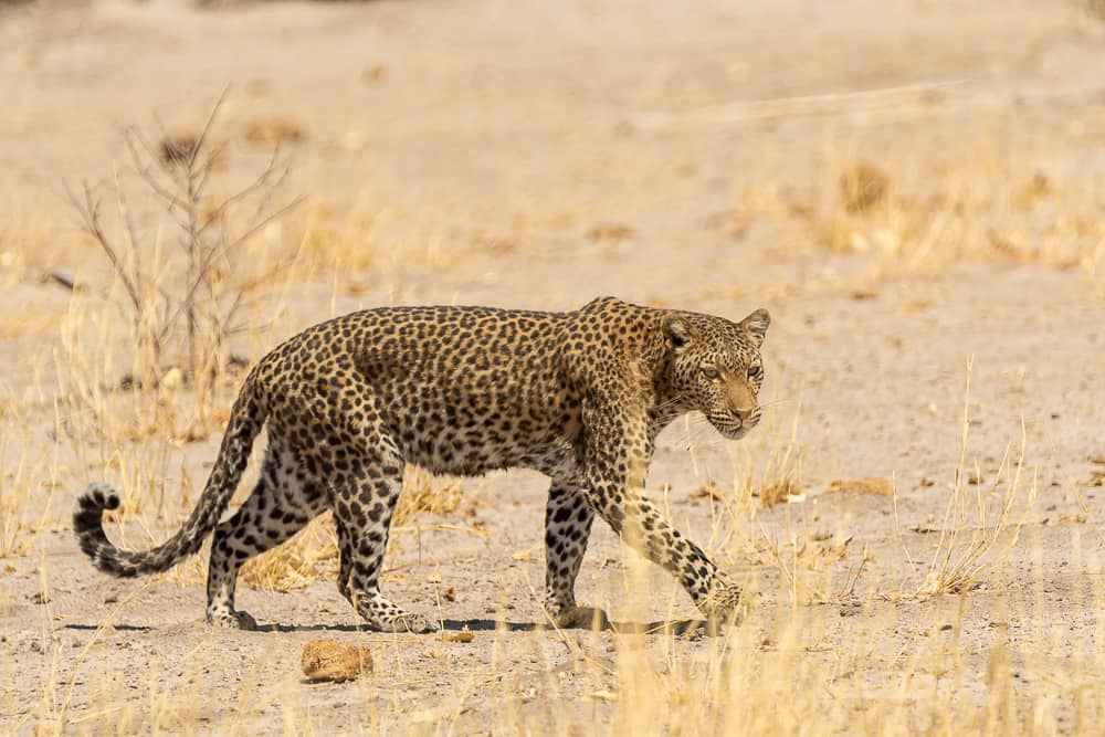 Leopard in Savuti