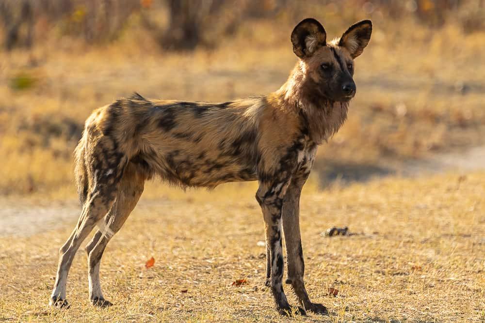 Wild Dogs in Khwai