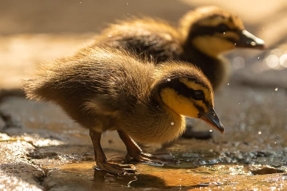 Süsse Entenfamilie