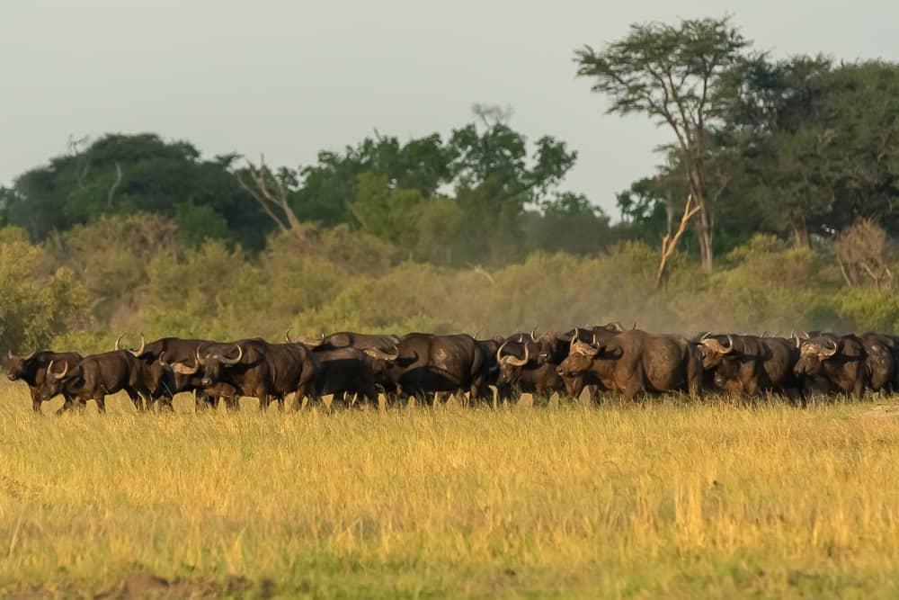 Büffelherde im Hwange