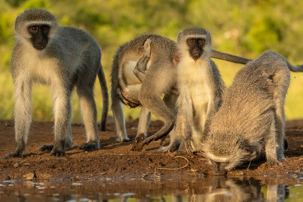 Vervet Monkey at Tamboti Overnight Hide